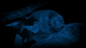 Tropical Fishes And Stingray In The Dark stock video footage