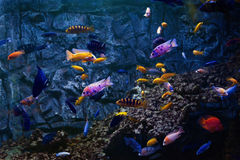 Tropical fishes swim near coral reef. Selective Royalty Free Stock Images