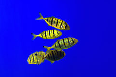 Tropical fishes swim near coral reef. Selective Stock Images