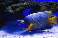 Tropical fishes swim near coral reef. Selective Royalty Free Stock Photos