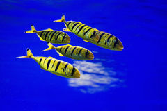 Tropical fishes swim near coral reef. Selective Royalty Free Stock Photography