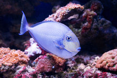 Tropical fishes swim near coral reef. Selective Stock Photo