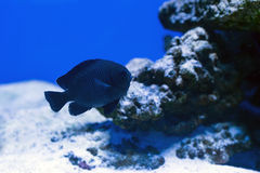 Tropical fishes swim near coral reef. Selective Stock Photos