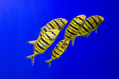 Tropical fishes swim near coral reef. Underwater life. Stock Images