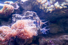 Tropical fishes swim near coral reef. Underwater life. Royalty Free Stock Images