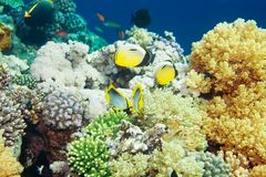 Tropical fishes swimming among corals Stock Images