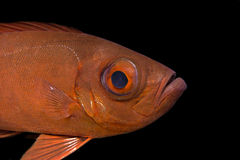 Tropical Fishes Underwater : Common Bigeye Stock Image