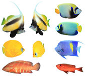 Tropical Fishes on white background Royalty Free Stock Image