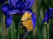 Tropical fitillary butterfly on dark purple flowers 1. A tropical fritillary butterfly, argynnis hyperbius, rests on dark purple flowers in a Japanese park royalty free stock photos