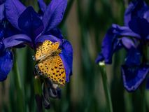 Tropical fitillary butterfly on dark purple flowers 2. A tropical fritillary butterfly, argynnis hyperbius, rests on dark purple flowers in a Japanese park royalty free stock image