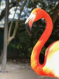 Not a very happy flamingo. Tropical flamingo with a penetrating gaze and vibrating colors on a shiny day Royalty Free Stock Images