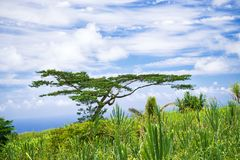 Tropical flora flourishing against blue sky with white clouds on. Big Island Hawaii Stock Photo
