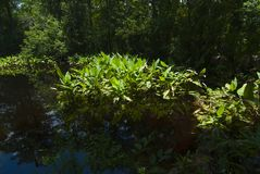 Water liles in the everglades. Tropical florida everglades backlit water liles in the water royalty free stock images