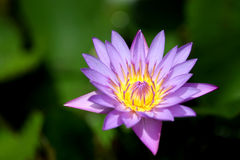 Tropical flower. Beautiful purple and yellow flower in a lake in Dominican republic Stock Photography