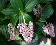 Tropical Flower. Purple tropical flower,Medinilla,clusters of small individual floweretts, originally from the rain forest of the Philippines, thriving in south stock photo