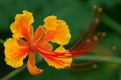 Tropical Flower Stock Photography