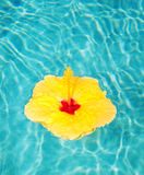 Tropical Flower. Tropical Hibiscus Flower Floating in Pool royalty free stock photo