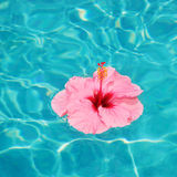 Tropical Flower. Tropical Pink Hibiscus Flower Floating in Pool stock images