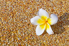 Tropical flower background. Tropical flower over sandy background Stock Photos