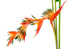Tropical flower Bird of Paradise, isolated Royalty Free Stock Photos