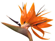 Tropical Flower Birds of Paradise of Hawaii. On isolated white background Royalty Free Stock Image