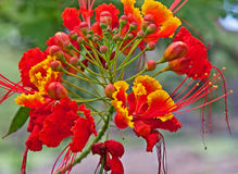 Tropical Flower Caesalpinia Red and Yellow Royalty Free Stock Photo
