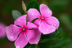 Tropical flower catharanthus Royalty Free Stock Images