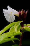 Tropical flower Royalty Free Stock Images