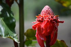 Tropical flower in Costa Rica Etlingera Royalty Free Stock Images