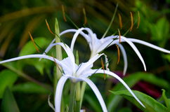 Tropical flower Crinum mauritianum Lodd, Hainan Island, China Stock Images