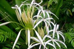 Tropical flower Crinum mauritianum Lodd, Hainan Island, China Stock Photography