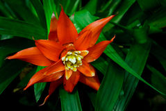 Tropical Flower. A deep orange tropical Bromeliad Flower blooming in front of deep green leaves in a tropical garden Stock Images