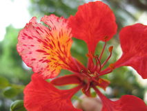 Tropical flower detail - flamboyant Stock Photos