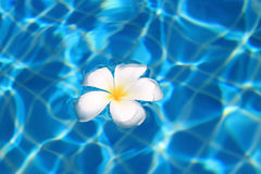 Tropical flower floating in a swimming pool. Tropical flower floating in a blue swimming pool Royalty Free Stock Photography