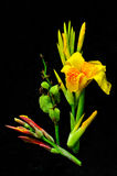 Beautiful yellow flower on black background. Tropical flower found in Thailand Royalty Free Stock Photography