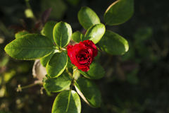 Tropical flower in garden photo. Red rose grow on flowerbed. Summer garden in sun. Royalty Free Stock Images