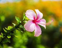Tropical flower on garden Stock Photography
