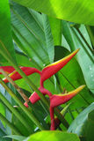 Tropical flower Heliconia Stock Image
