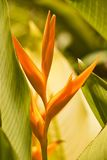 Tropical flower Heliconia Stock Photography