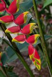 Tropical flower - Heliconia. Branch of gorgeous yellow - red Heliconia flowers in tropical garden. Hanging lobster claw Royalty Free Stock Photography