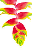 Tropical Flower Heliconia, isolated on white, close up Royalty Free Stock Photography