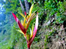 Tropical Flower Heliconia. Stock Photos