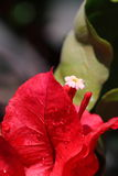 Tropical flower macro. Tropical white flower macro with red leaves Stock Photography