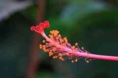 Tropical flower macro. Fresh pink tropical flower macro without petals Stock Image