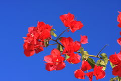 Tropical flower macro. Red tropical flowers macro with blue sky background Stock Photos