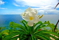 Tropical flower over the ocean. White tropical flower with ocean background in french polynesia stock photography