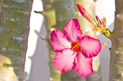 Tropical flower Pink Adenium Royalty Free Stock Images