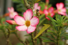 Tropical flower Pink Adenium Royalty Free Stock Image