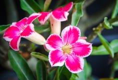 Tropical flower pink adenium. Desert rose Royalty Free Stock Images