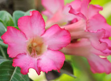 Tropical flower Pink Adenium. Desert rose. Stock Photos